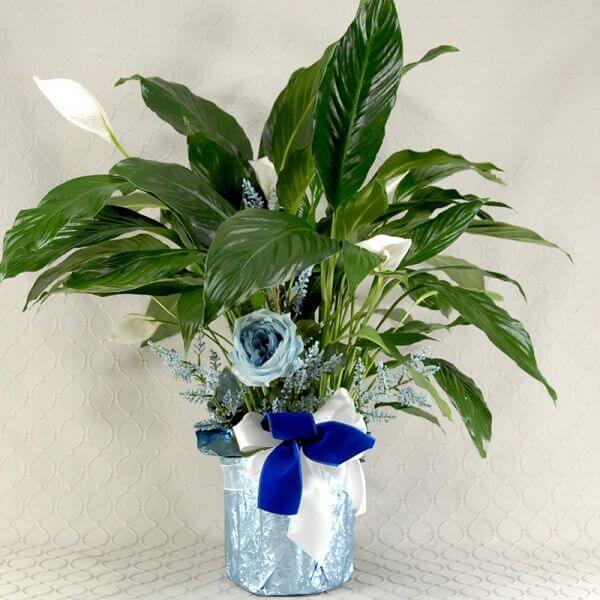 Blue Peace Lily